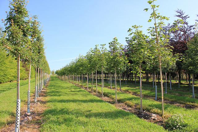 Acer Campestre Elsrijk Field Maple Nangle And Niesen Tree Nursery
