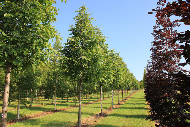 Specimen Trees | Mature Trees | Large Trees | Trees for Sale