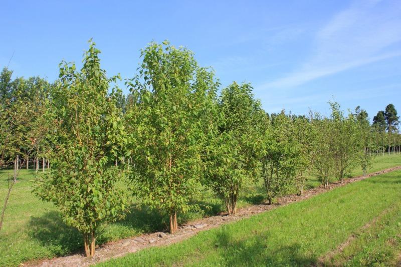 Multistem Trees