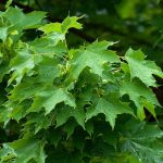 Acer platanoides Cleveland