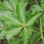 Aesculus hippocastanum Flava
