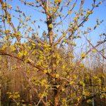 Cornus officinalis Robins Pride