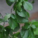 Fagus sylvatica Pendula