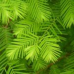 Metasequoia glyptostroboides