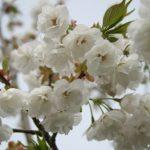 Prunus serrula Shirotae