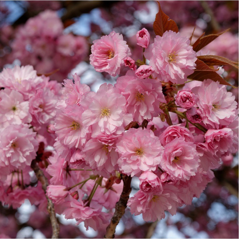 Cherry Trees Prunus Flowering Trees Ornamental Trees Pink