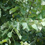 Tilia tomentosa Brabant