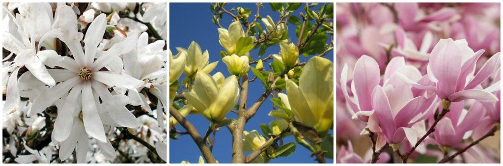Early Flowering Trees