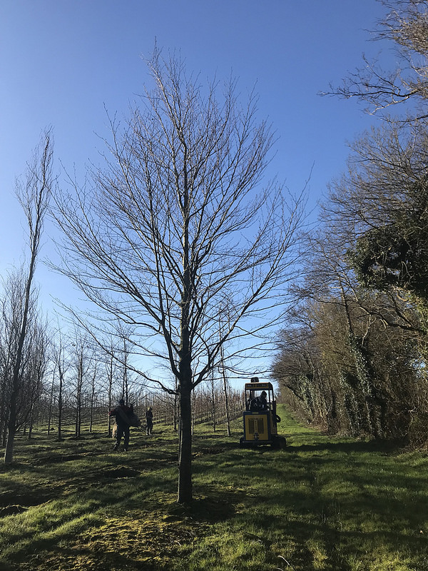 Rootball Trees